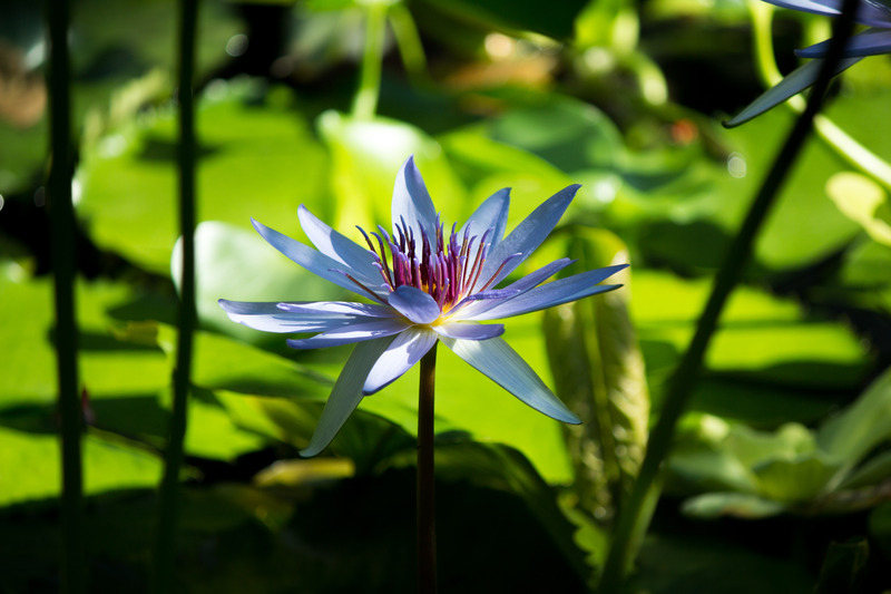 Canva - Beautiful Lotus Flower (1)
